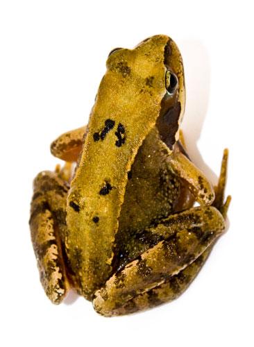 Common-frog06