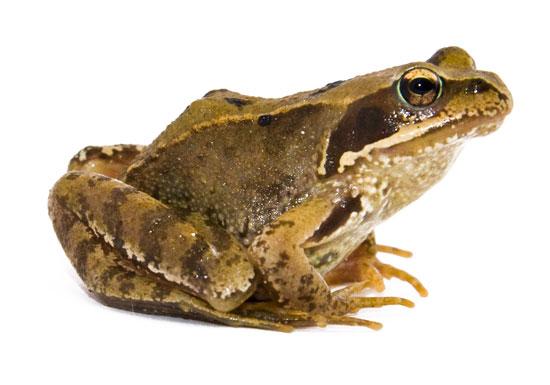 Common-frog