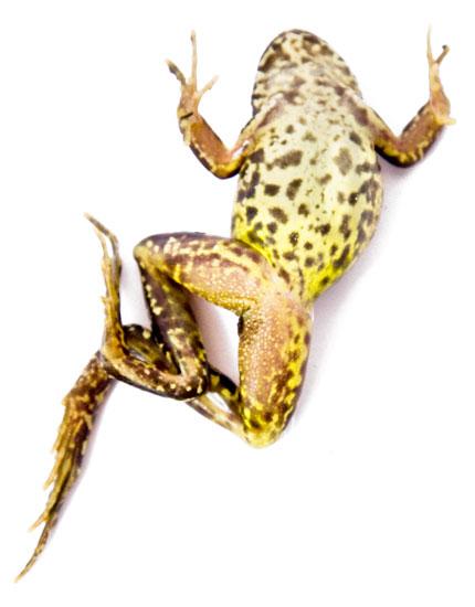 Common-frog09