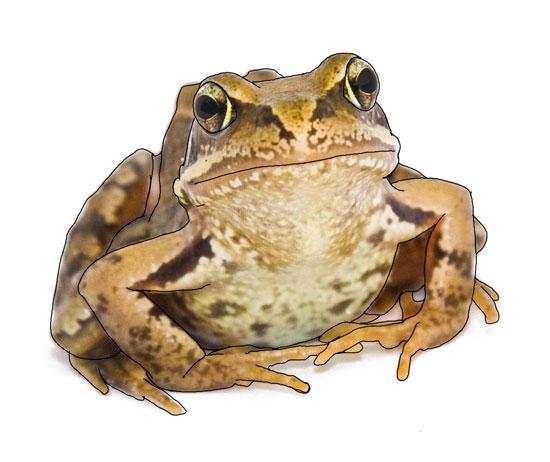 Common-frog082